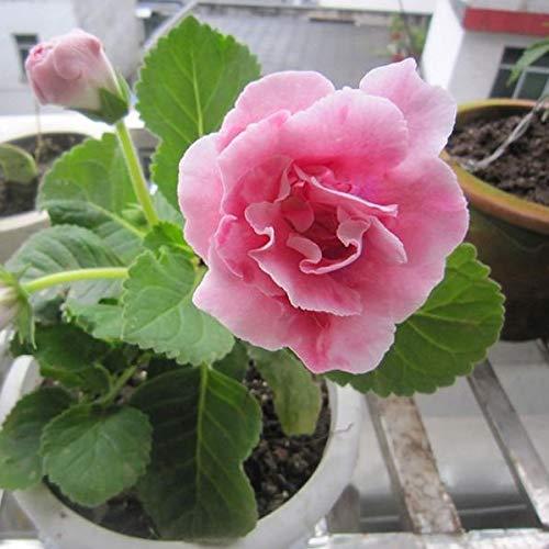 Big Promotion! 100 Pcs Gloxinia Seeds vivace à fleurs Plantes à graines Sinningia speciosa Bonsai Sementes Balcon Chambre Flower Pot
