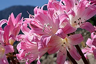 5 Amaryllis Belladonna - Pink Naked Ladies - Surprise Lily - 5 Bulbs per Order