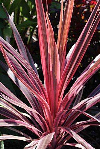 Rote Keulenlilie 10 Samen - Cordyline australis Purpurea- Drachenbaum
