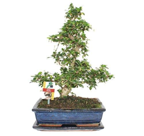 Bonsai Fukientee - Carmona microphylla - ca. 12-15 Jahre