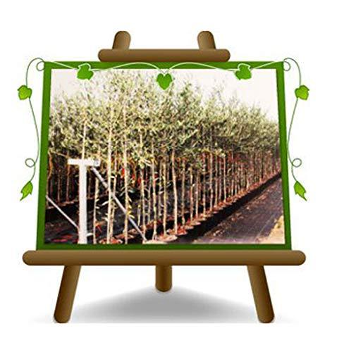 Olivier Olivenbaum Oliven Frantoio - Obstpflanze Baum max 160-3 Jahre Anbau Italien