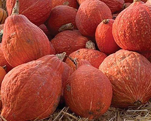 Potseed Samen Keimung: 50 - Samen: Goldener Hubbard Winter-Kürbis-Samen - groß für Canning und Einfrieren. !!!!
