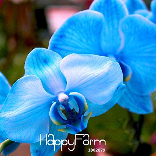 Nouvelle arrivée! Graines Bleu Rare Bonsai Fleur papillon Orchidée beau jardin Phalaenopsis Orchidées Seed-200 PCS / Bag, # XVKF78