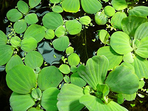 Zoomeister - 1 Portion Muschelblume (Pistia Stratiotes) 3-4 STK.