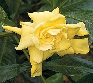 New Life Nursery & Garden- - Golden Magic Gardenia- - Cape Jasmine, Trade Gallon Pot