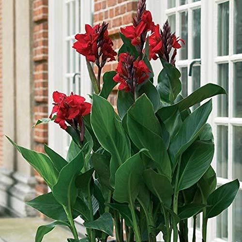 AIMADO Samen-Rarität 50 Stück Indisches Blumenrohr Samen Canna indica blumensamen mehrjährig winterhart,Sommerblumen für Garten