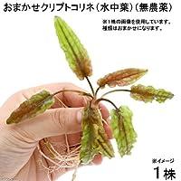 (水草)おまかせクリプトコリネ(水中葉)(無農薬)(1株)