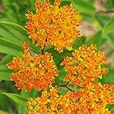 Butterfly Weed Flower - Perennial Garden Flower Root