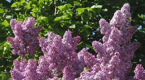 Lila lila 25 Samen - Syringa vulgaris - Strauch/Baum