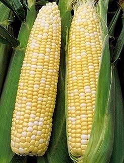 Bulk Non GMO Organic Corn Seeds - BiColored Sweet (1 Lb)