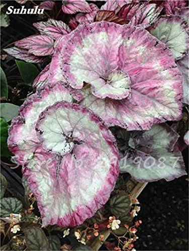 Janpanse Bonsai coleus Graines 50 Pcs Plantes feuillage couleur parfait arc Graines Belle Mixed Flower Garden plante Sement 23