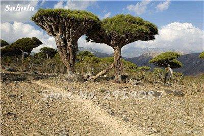 Livraison gratuite 10 Pcs rares Dracaena arbre alpiste Tree Island sang (Dracaena draco) Jardin des plantes voyantes, exotiques 11 Diy