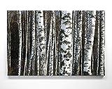 EIN Atemberaubendes Bild – Birkenwald - als 180x120cm große XXL Leinwand. Tolles Wandbild als Hintergr& & Deko für Wohnzimmer und Schlafzimmer. Fertig aufgespannt auf 4cm Holz-Keilrahmen