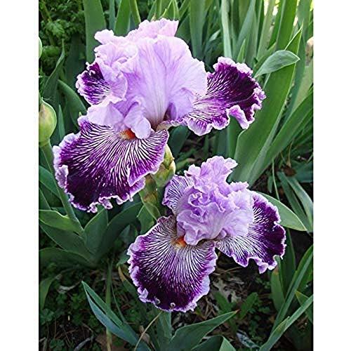 Elegant Purple Orchid Bearded Iris Roots/Bulbs Garden Plants Multiply Rapidly Home Balcony Bonsai (4 Bulbs)