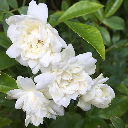 Rosa Banksia Alba Plena - 5.5lt Potted Rambling Garden Rose - White/Cream Double Blooms, Fragrant