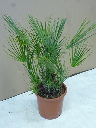 [Palmenlager] Chamarops humilis 60/80cm - Zwergpalme // winterharte Palme -12°C