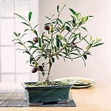 MAPPLEGREEN Rare Olive Bonsai Tree (Olea Europaea) Bonsai Fresh Exotic Tree Bonsai Mini Olive Tree Olive Bonsai Garden Supplies 10PCS