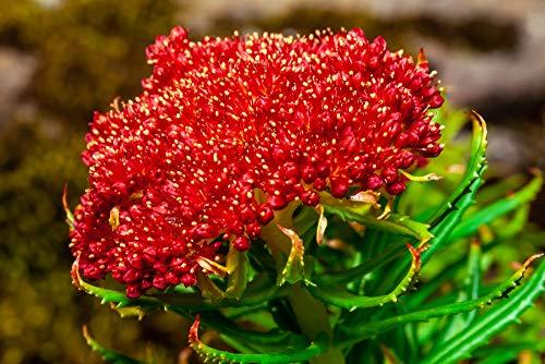 Rhodiola integrifolia ssp atropurpurea, Rosenwurz 20 Samen - mehrjährige
