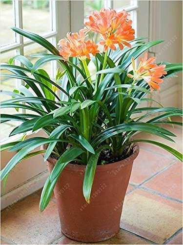 SwansGreen Echt clivia Glühbirnen, Clivia Pflanze, Bonsai Blumenzwiebeln, (nicht clivia Samen), mehrjährige Blumen Topfpflanze Bulbous Root - 20 PC 6
