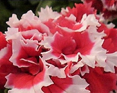 Blanc et rouge Pétunia Seeds 80 graines -BUY 4 articles