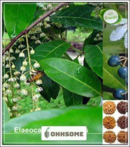 GEOPONICS SEED Elaeocarpus Ganitrus - Semi - Semi Seed (10 per pacchetto)