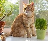 Semillas de hierba gato