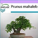 SAFLAX - Cerecino - 30 semillas - Prunus mahaleb