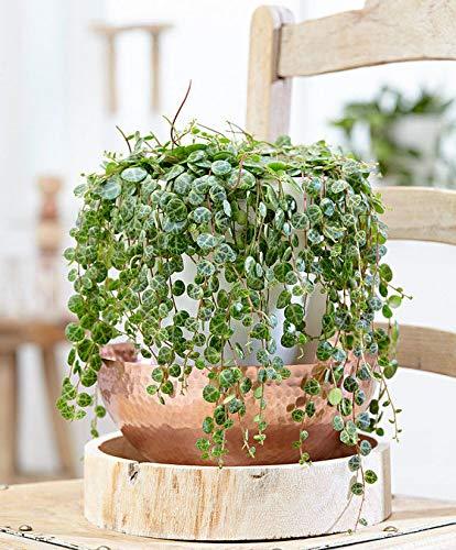 Portal Cool 100Pcs Peperomia Prostrata Samen Exotische Bonsai Blumen Bonsai Melon Blätter Dekor
