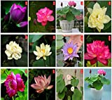 Bonsai Lotus Seeds,Water Lily Flower Plant,20PCS...