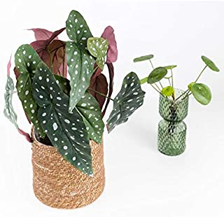 TigerlilyBlooms Begonia Maculata Artificial Plant with Patterned Leaves, Trend Houseplant, Polka Dot Begonia, Decorative Fake Plant with Spotted Leaves