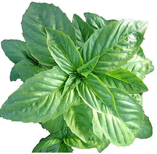 Italienne Sweet Basil Graines naturelles non OGM Aromatique vert foncé Herb jardinage