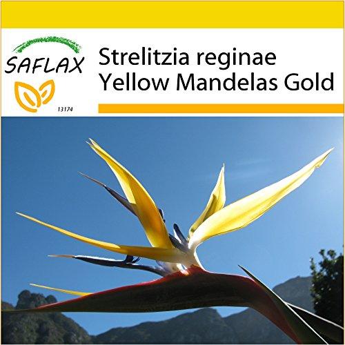 SAFLAX - Kit de culture - Oiseau de paradis jaune - Mandelas Gold - 4 graines - Strelitzia reginae Yellow