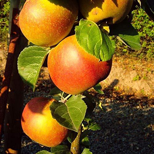 Winterapfel Roter Boskoop Apfelbaum Busch 120-150 cm saftig 2-jährig im Topf