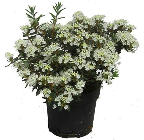Ledum groenlandicum 'Compactum' -...