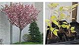 legendary-yes Kwanzan Flowering Cherry Tree Plants
