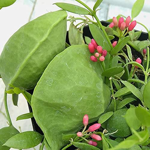 ディスキディア:カンガルーポケット 4号鉢植え(貯水嚢つき)[赤い花が可愛い!葉っぱが袋になる観葉植物]
