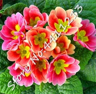 200 Stück Echtnachtkerze Europa Primel malacoides Farbe Bonsai Blume wachsen in Töpfen Zimmerpflanze Einfach für Hausgarten mischen: 11