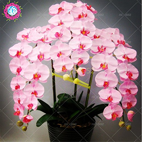 Semillas de flores de orquídeas 100PCS-semilla para las semillas de orquídeas Phalaenopsis jardín de casa-comprar directo de China-orquidea semente 2