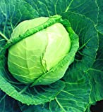 Organic Early Round Dutch Cabbage 30 Seeds #1102 Item Upc#636134973202