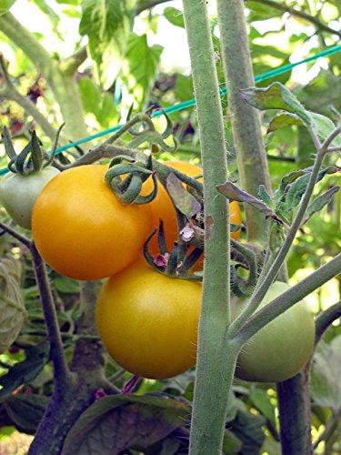 Gelbe Tomate 'Goldene Königin' (Solanum lycopersicum) 10 Samen alte Sorte