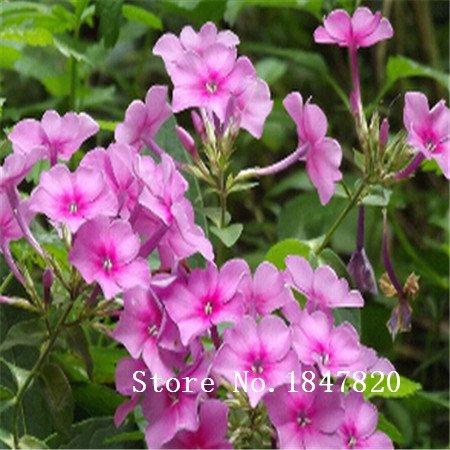 2016 Bonsai phlox Graines 1000pcs 10kinds mix Graines de fleurs Novel plantes pour jardin Livraison gratuite
