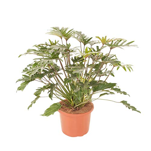Philodendron xanadu | Philodendron Pflanze | Zimmerpflanze groß | Höhe 40-45 cm | Topf-Ø 19 cm
