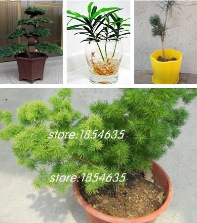 Livraison gratuite 50pcs / sac japonais Pine Tree Seeds Diy Bonsai Fleur facile de planter