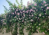 Climbing Roses Fragrant Vine Climber Plant Seeds 100 PCS (Pink)