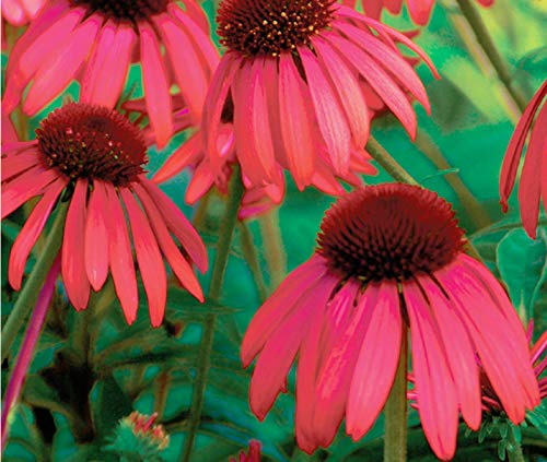AGROBITS Red Coneflower Seeds - Echinacea - erfly Jardin de fleurs sauvages - 30 graines ???