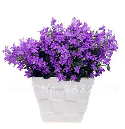 100 PC / bolso Campanula Raras Semillas Chile Rosea Macetas Bellflower Perennifolio para el balcón y jardín de belleza de su jardín