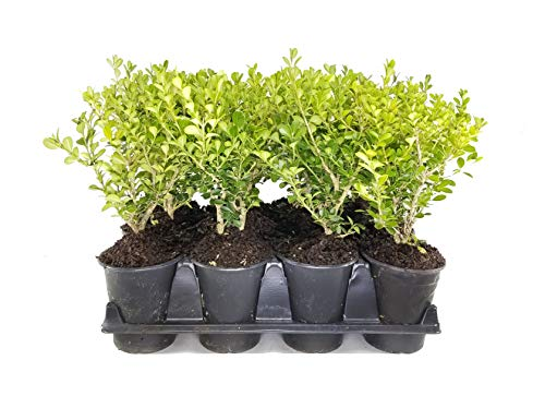 Japanese Boxwood - 3 Live Quart Size Plants - Buxus Microphylla - Formal Evergreen Low...