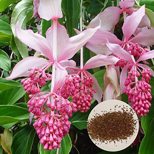 yanbirdfx Blumen Samen für Garten und Balkon-300 Stück Medinilla Magnifica Samen Bonsai Blumenpflanze Hausgarten Hinterhof Dekor - Medinilla Magnifica Samen