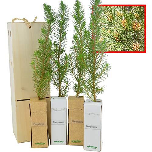 PINO PIÑONERO (pinus pinea) - Pino natural de 30-40 cms de altura. Ideal para transplantar o para regalar (4)