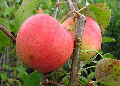 Apfel Busch-Baum Pinova süß-leicht säuerlich 130-150 cm orange-rotes Obst Gartenpflanze 1 Pflanze